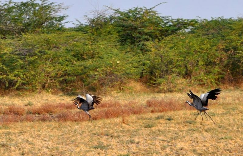 Travel Blog India common crane | the rann of kutch
