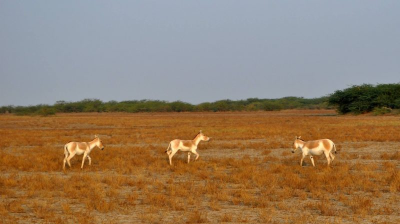 travel blog india | Wild Ass Sanctuary in rann of kutch